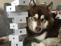 Čínský miliardář koupil svému psovi na hraní osm iPhonů 7 Plus